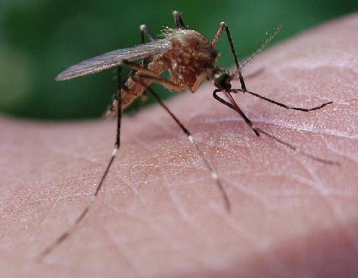 mosquito picando piel