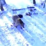 Oso robando y conduciendo un coche a la fuga