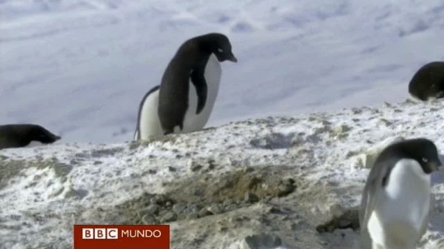 pinguino ladron rocas BBC documental