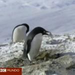 El pingüino ladrón y vago robando piedras