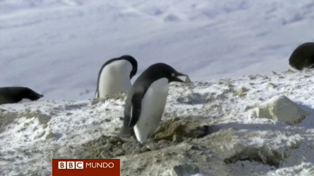 pinguino ladron rocas BBC frozen planet