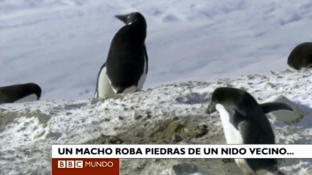 pinguino robando rocas BBC documental
