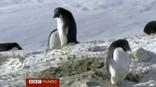 pinguino robando rocas BBC frozen planet