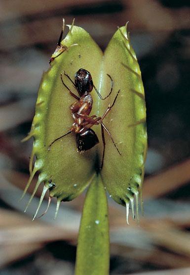 planta carnivora hormiga