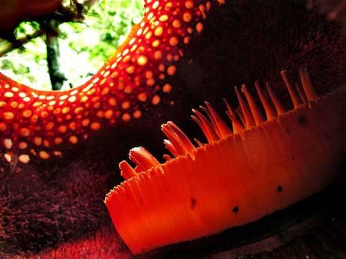 rafflesia flor dentro