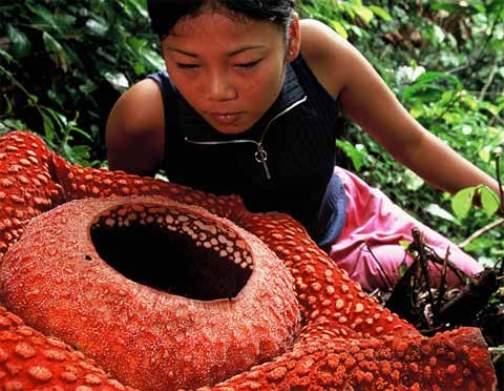 rafflesia flor gigante