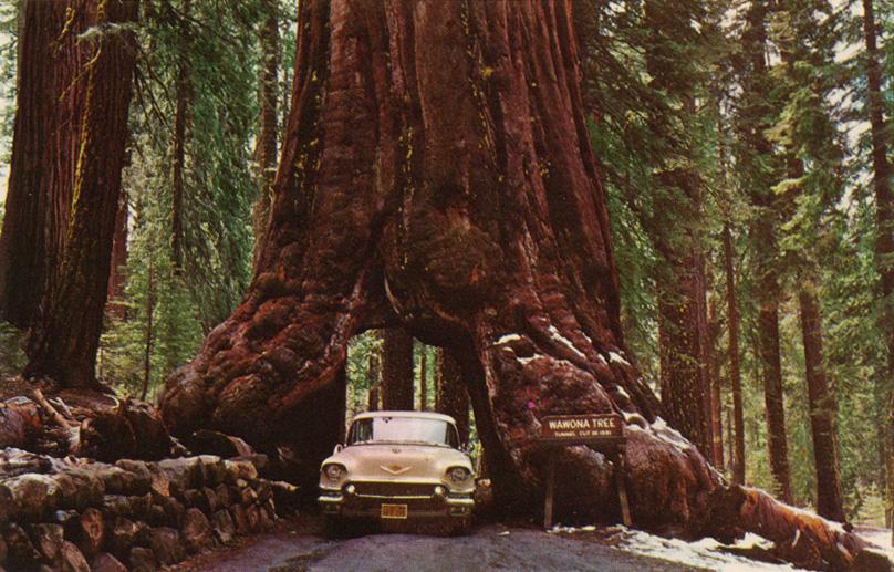 secuoya coche tunel sequoia