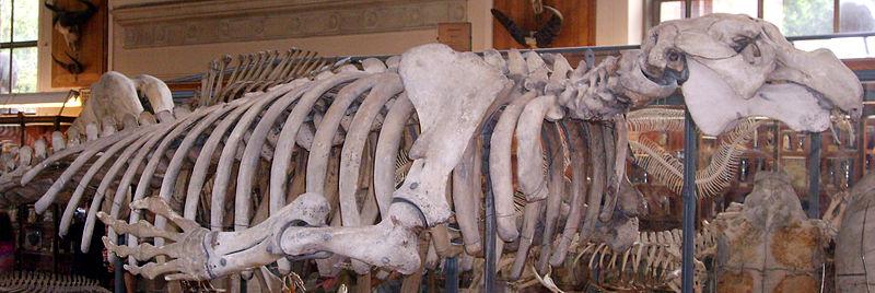 vaca marina steller Hydrodamalis huesos