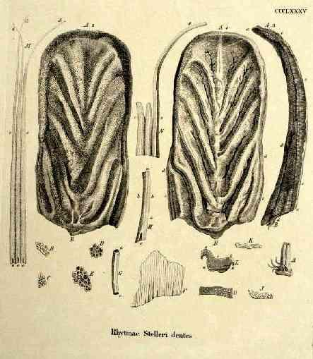 vaca marina steller Rhytinae Stelleri dientes
