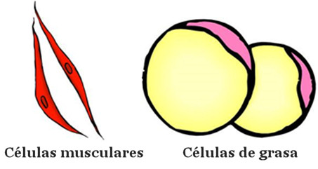 celulas musculares musculo grasa