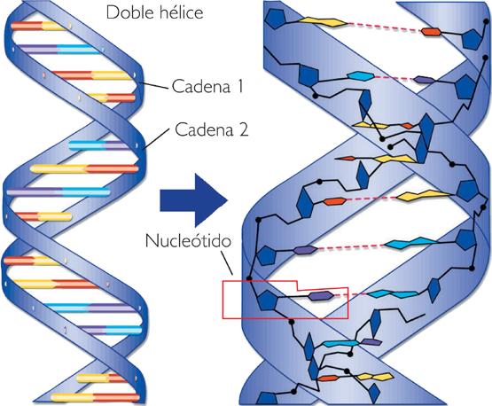 nucleotido arn adn