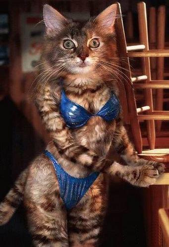 animales graciosos gato bikini