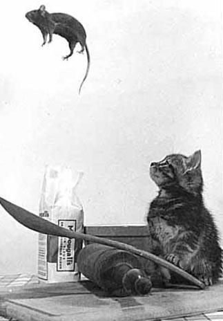 animales graciosos gato raton