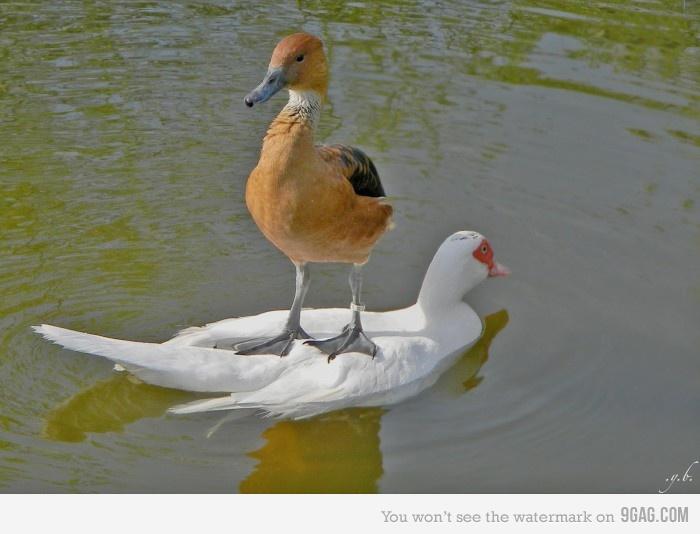 animales graciosos patos