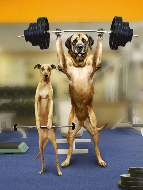 animales graciosos perros culturistas