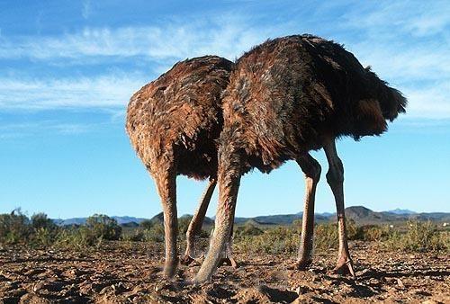 avestruz avestruces cabeza debajo tierra
