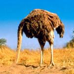 ¿Las avestruces esconden la cabeza debajo de la tierra?