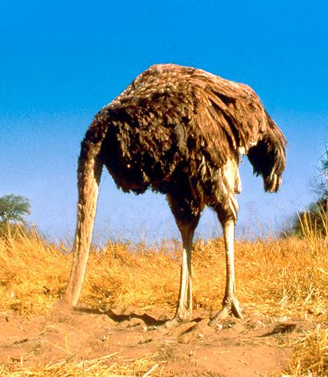 avestruz avestruces cabeza enterrar bajo tierra
