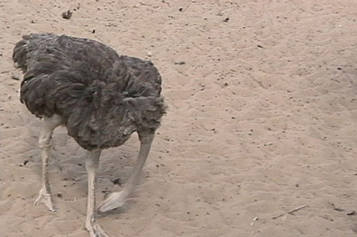 avestruz cabeza baja