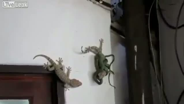 gecko luchando serpiente