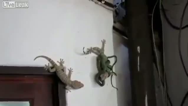 gecko luchando serpiente
