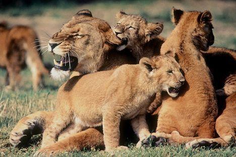 leona cachorros