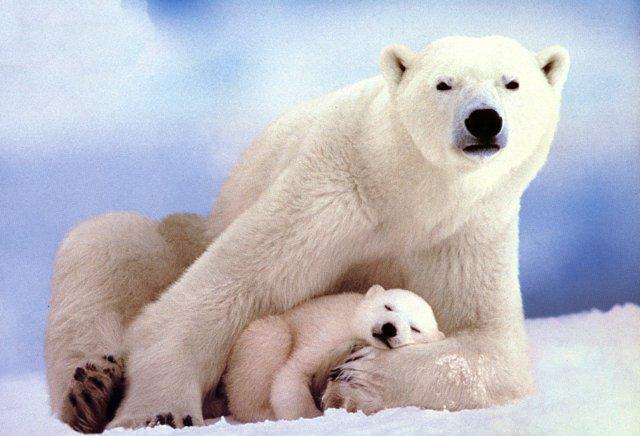 oso polarn