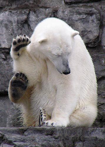 osos polares humor imagenes hielo 02