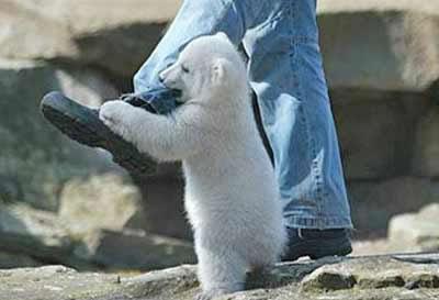 osos polares humor imagenes hielo 05
