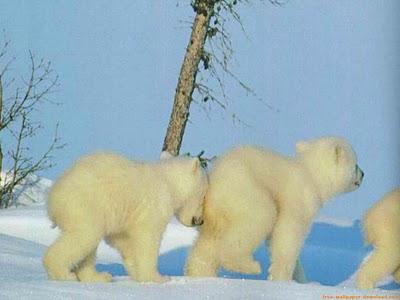 osos polares humor imagenes hielo 06