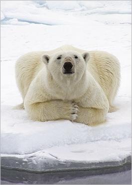 osos polares humor imagenes hielo 08