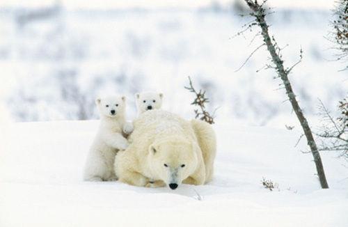 osos polares humor imagenes hielo 10