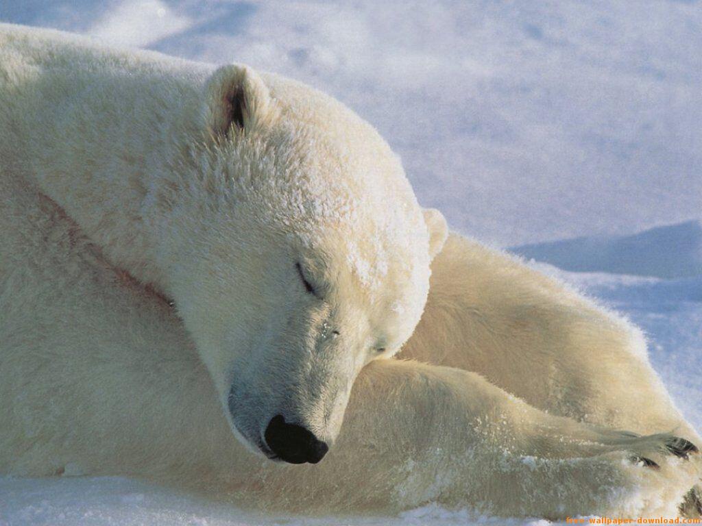 osos polares humor imagenes hielo 12