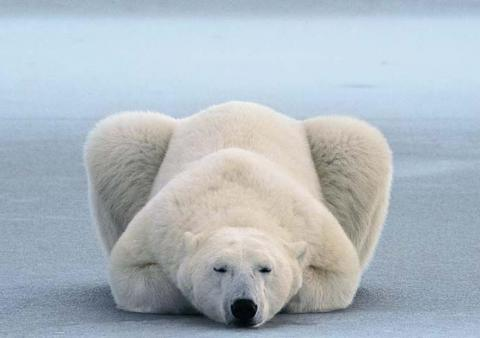osos polares humor imagenes hielo 14