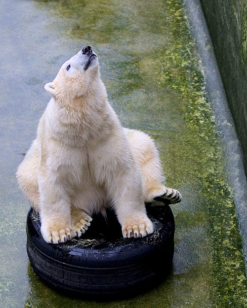 osos polares humor imagenes hielo 16