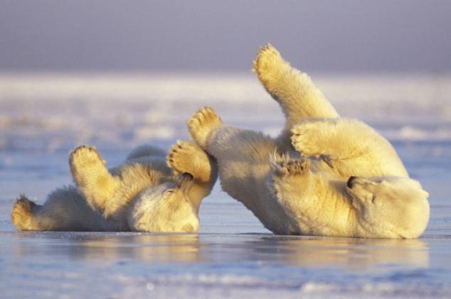 osos polares humor imagenes hielo 17