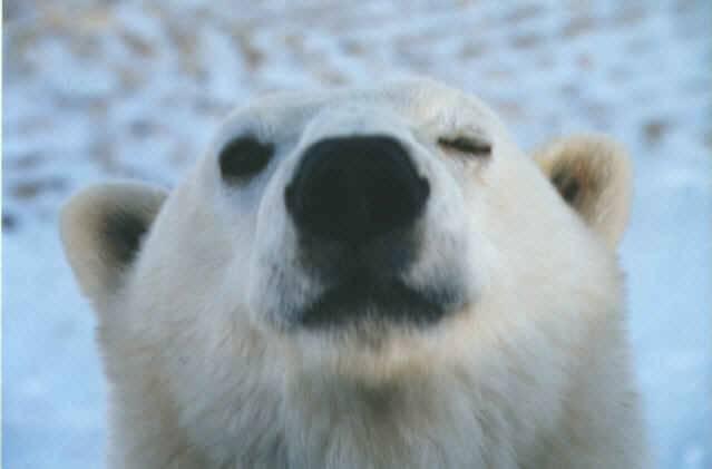 osos polares humor imagenes hielo 20