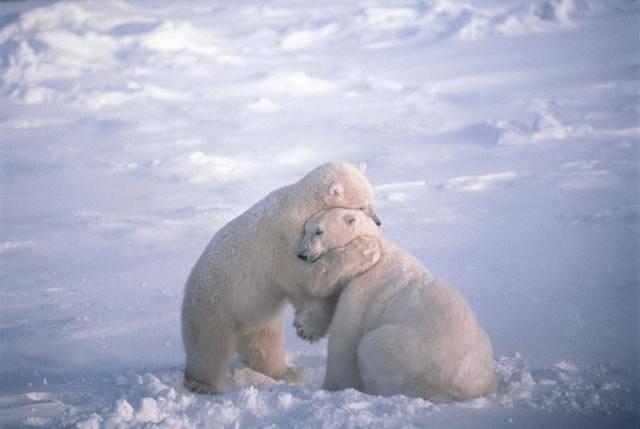 osos polares humor imagenes hielo 21
