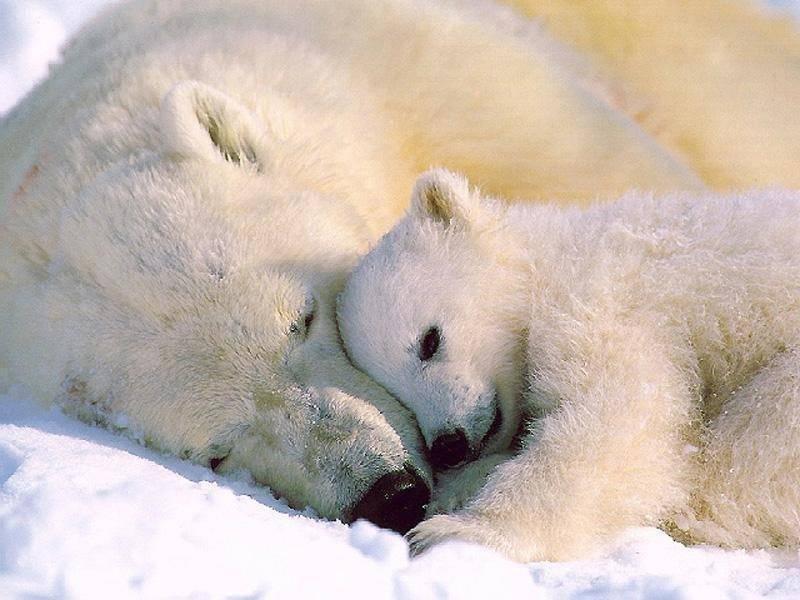 osos polares humor imagenes hielo 22