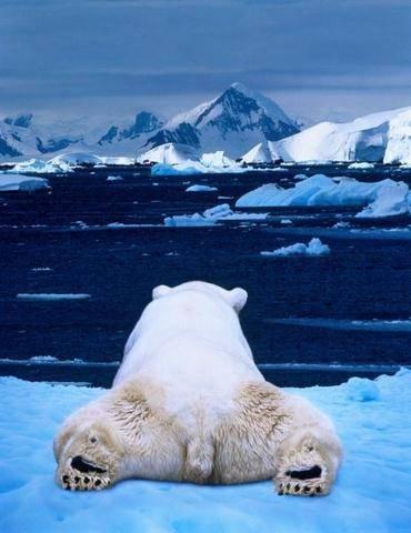 osos polares humor imagenes hielo 23