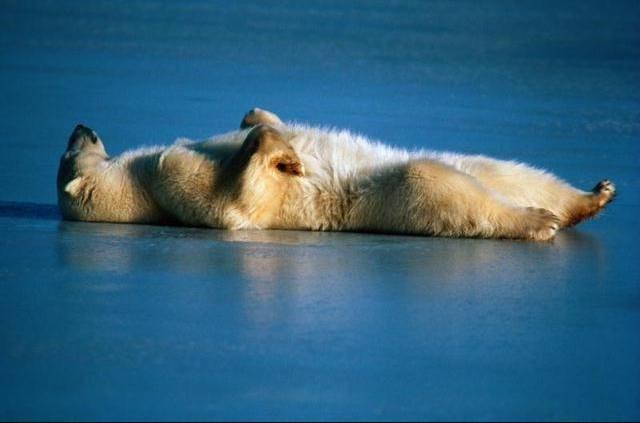 osos polares humor imagenes hielo 24