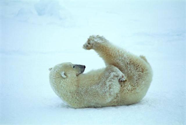 osos polares humor imagenes hielo 25