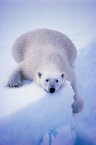 osos polares humor imagenes hielo 26