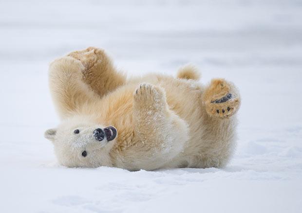 osos polares humor imagenes hielo 27