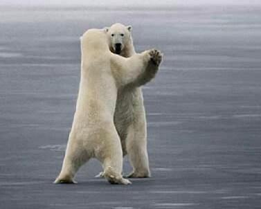 osos polares humor imagenes hielo 28