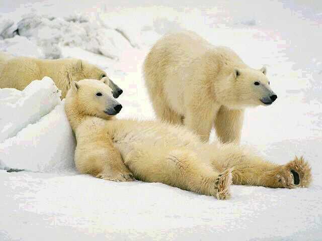 osos polares humor imagenes hielo 29