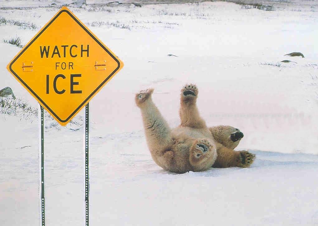 osos polares humor imagenes hielo 30