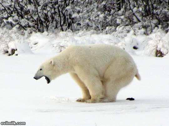 osos polares humor imagenes hielo 31