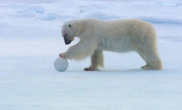 osos polares humor imagenes hielo 32