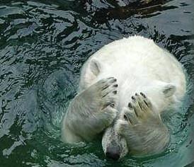 osos polares humor imagenes hielo 33